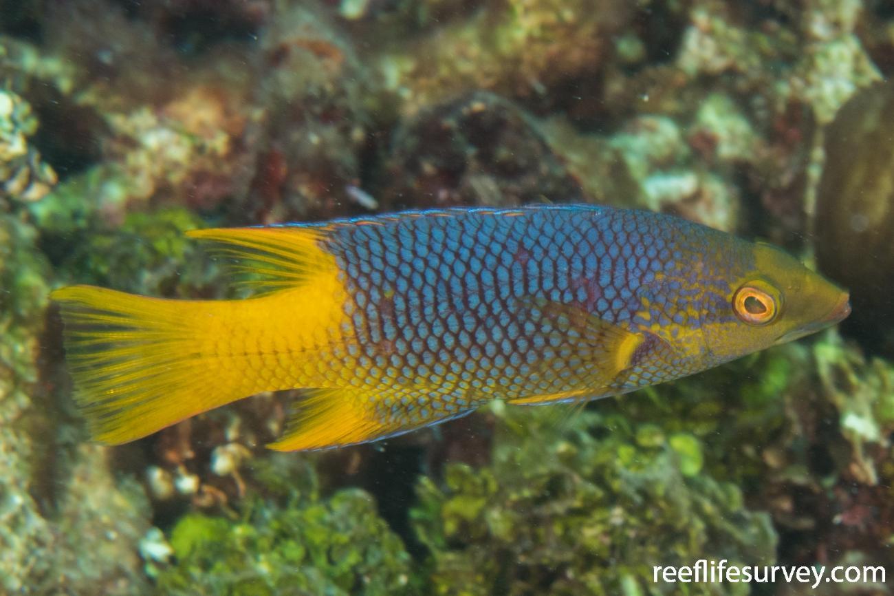 Bodianus rufus, Juvenile, Belize,  Photo: Rick Stuart-Smith
