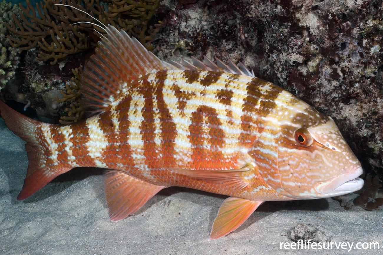 Symphorus nematophorus, Torres Strait, QLD,  Photo: Graham Edgar