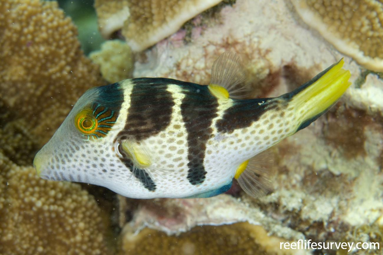 Canthigaster valentini, Lord Howe Is, Australia,  Photo: Andrew Green