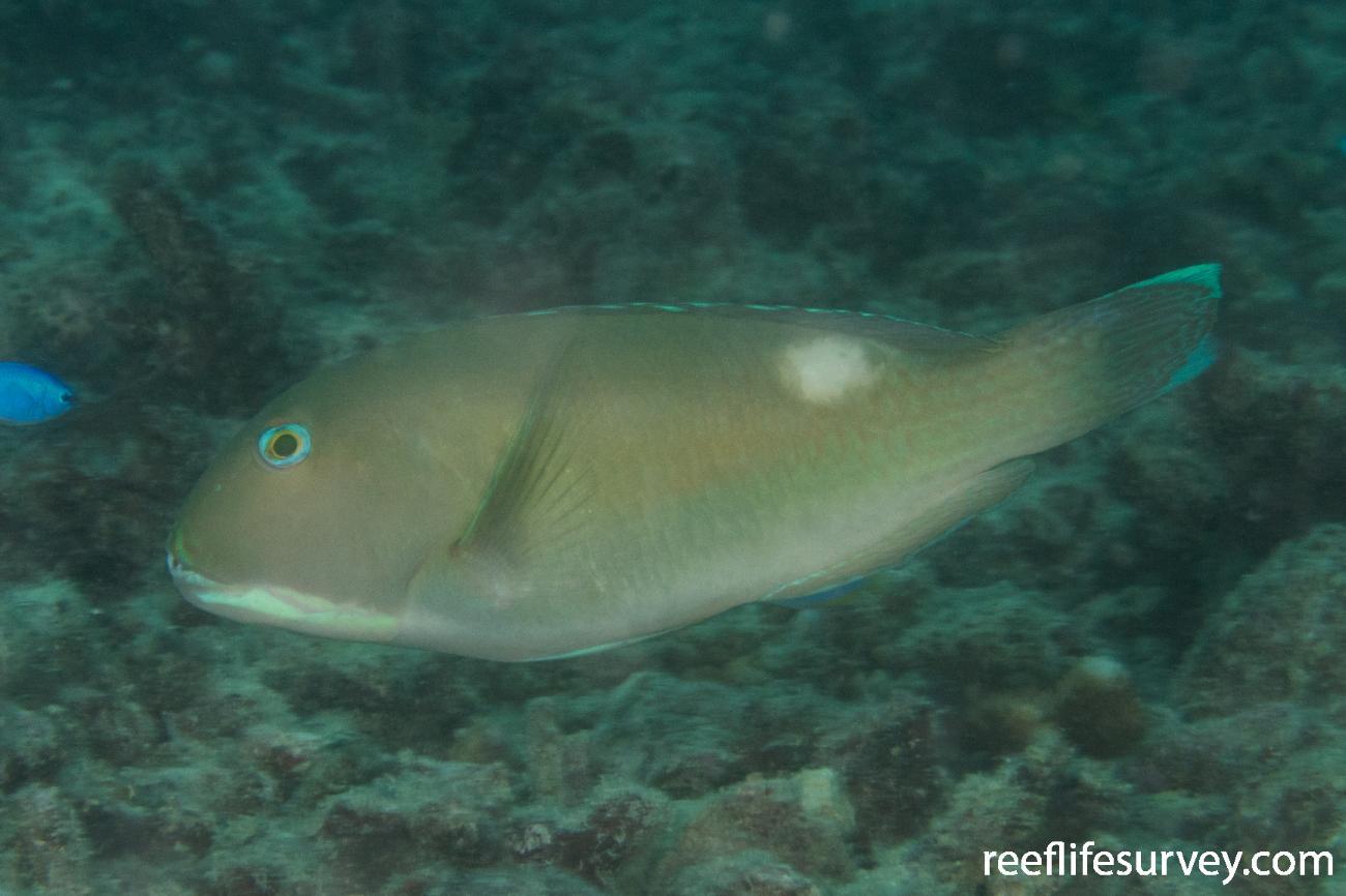 Choerodon cyanodus, Northern Great Barrier Reef, QLD,  Photo: Rick Stuart-Smith