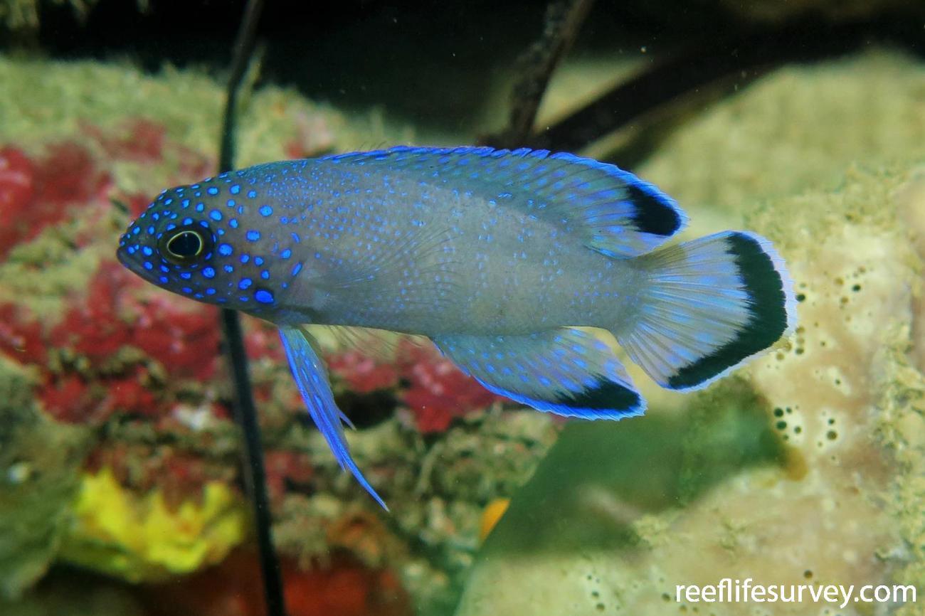 Paraplesiops meleagris, Juvenile, Perth, WA,  Photo: Ben Jones