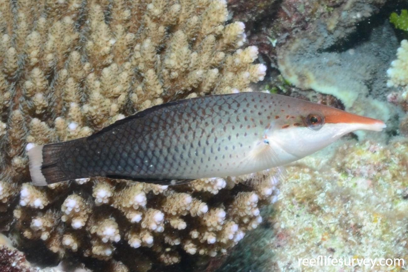 Gomphosus varius, Female, Niue,  Photo: Graham Edgar