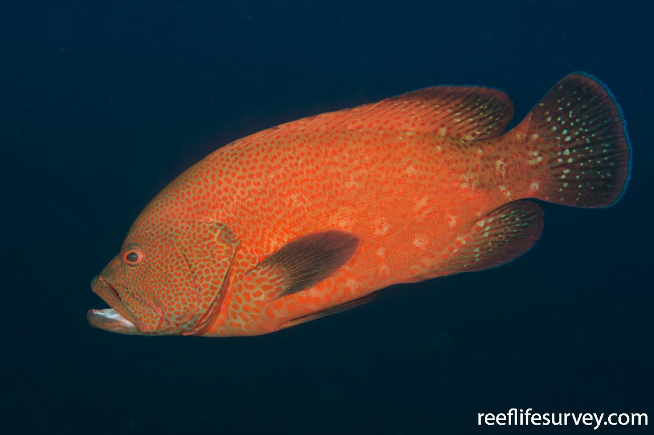 Cephalopholis sonnerati, Adult, Bali, Indonesia,  Photo: Ian Shaw