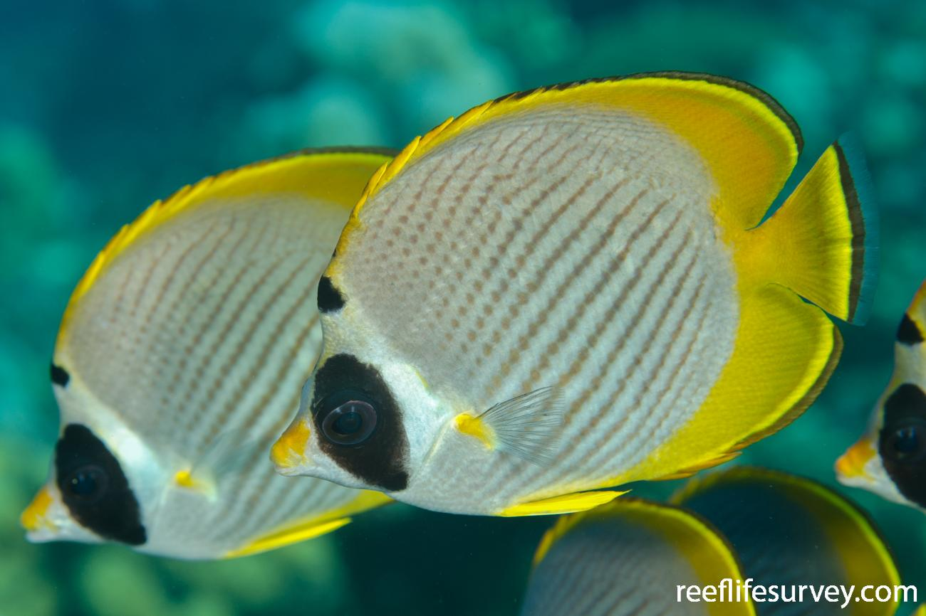 Chaetodon adiergastos, Adult, Bali, Indonesia,  Photo: Ian Shaw