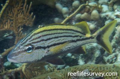 Haemulon macrostomum: Belize,  Photo: Rick Stuart-Smith