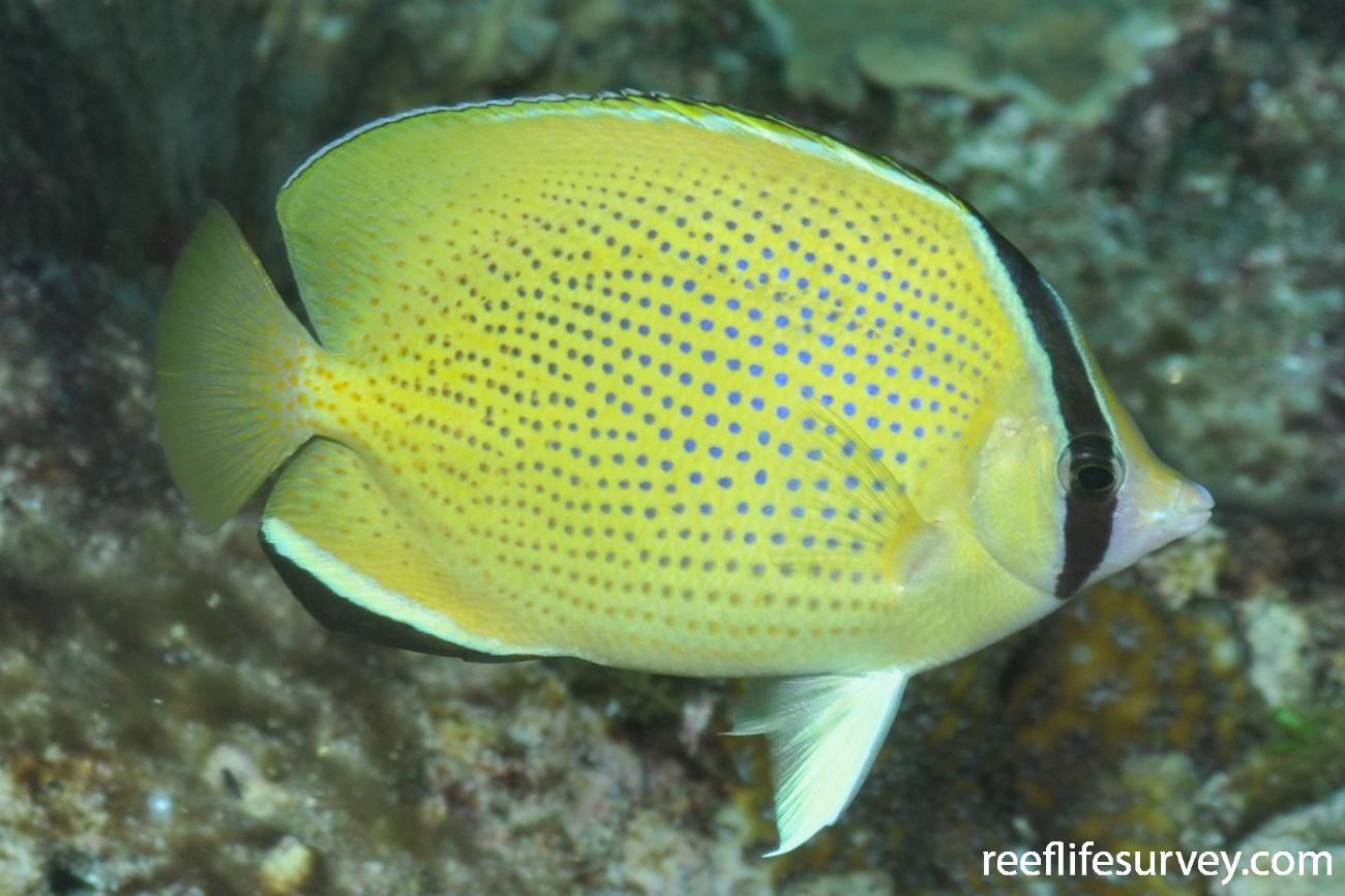 Chaetodon citrinellus, Adult.  Photo: Rick Stuart-Smith