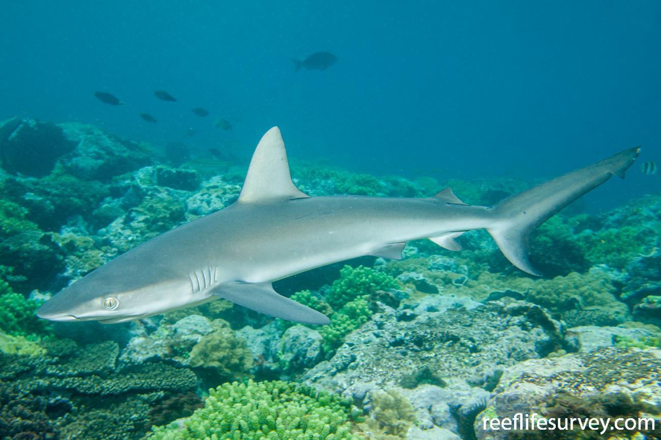 Carcharhinus galapagensis, Lord Howe Island, Australia,  Photo: Andrew Green