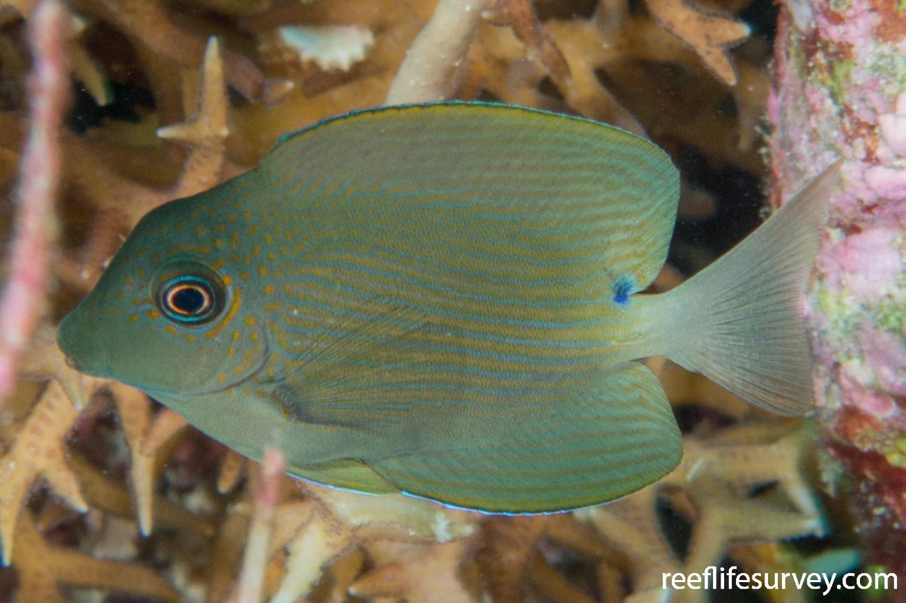 Ctenochaetus striatus, Coral Sea, Australia,  Photo: Rick Stuart-Smith