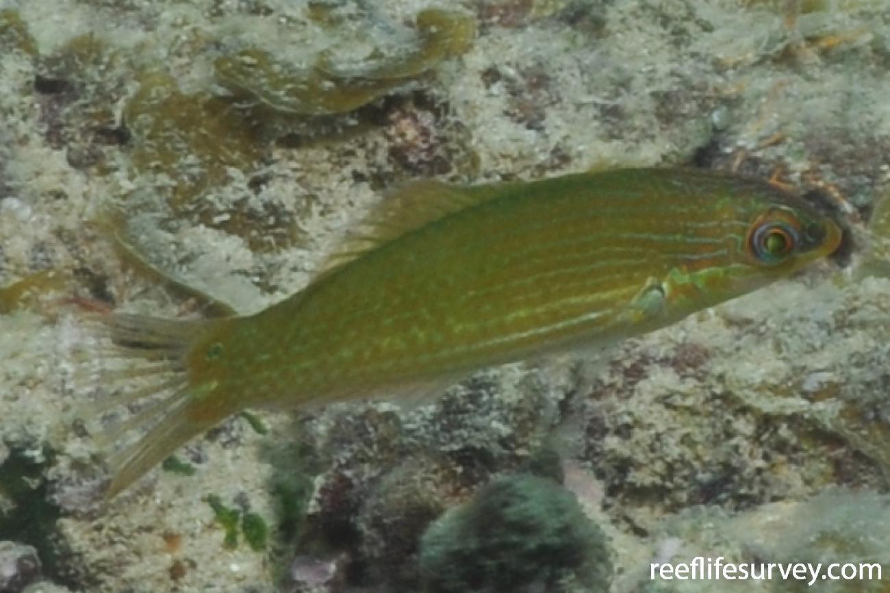Halichoeres erdmanni, Gulf of Carpentaria, Australia,  Photo: Rick Stuart-Smith