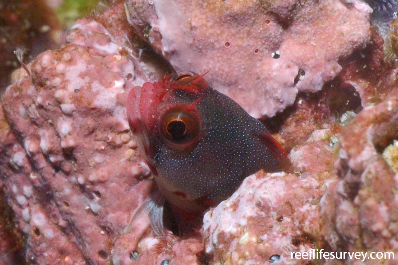 Acanthemblemaria stephensi, Malpelo Island, Colombia,  Photo: Graham Edgar