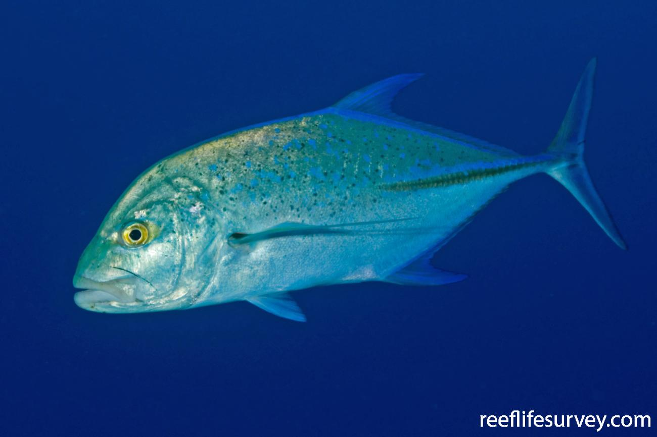 Caranx melampygus, French Polynesia,  Photo: Rick Stuart-Smith