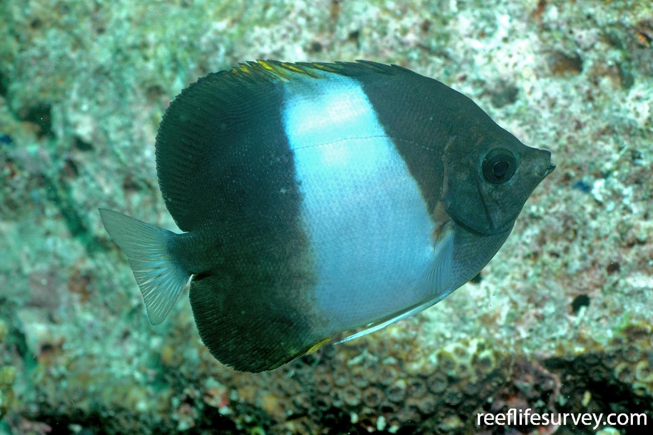Hemitaurichthys zoster, Adult, Seulako, Aceh, Indonesia,  Photo: Graham Edgar