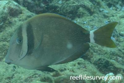 Acanthurus leucopareius: Hawaii,  Photo: Graham Edgar