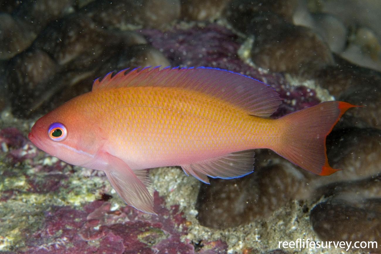 Pseudanthias hypselosoma, Female, Jervis Bay, NSW,  Photo: Andrew Green