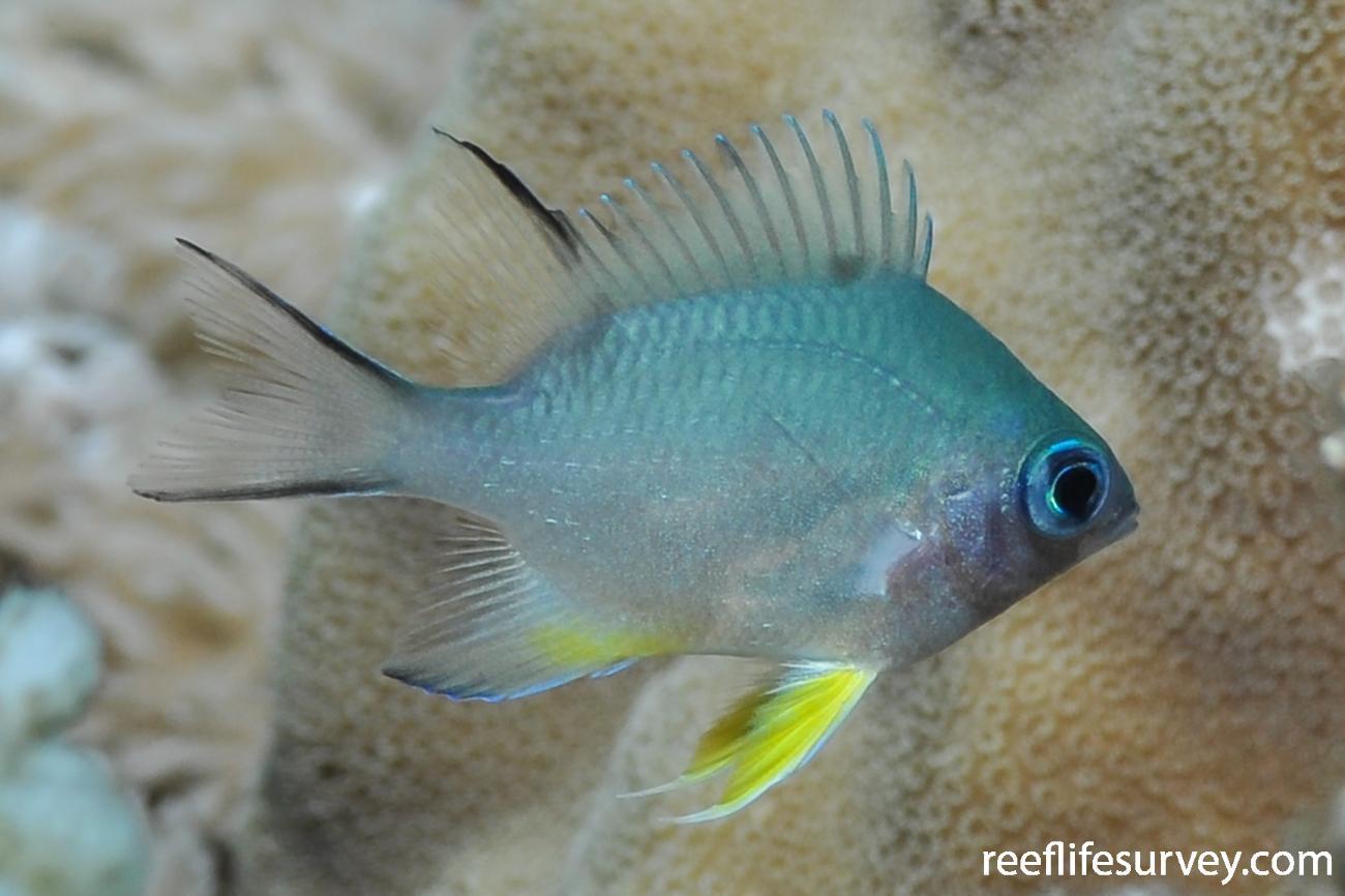 Amblyglyphidodon indicus, Juvenile, Red Sea,  Photo: Rick Stuart-Smith