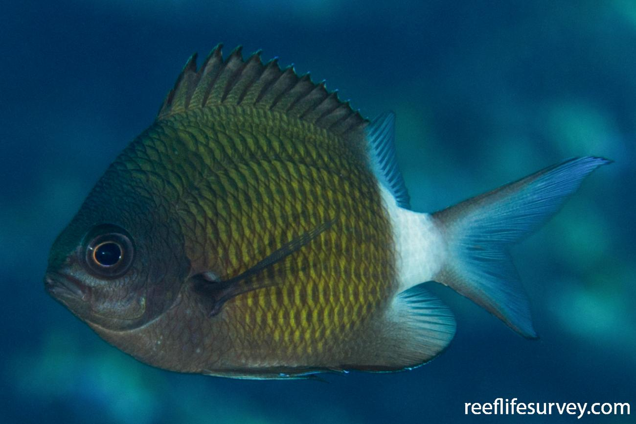 Chromis chrysura, Adult.  Photo: Rick Stuart-Smith