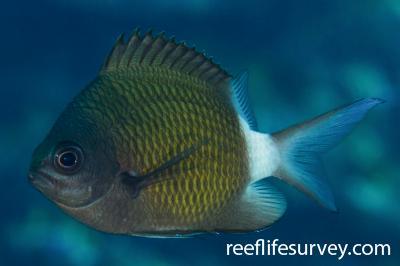 Chromis chrysura: Adult.  Photo: Rick Stuart-Smith