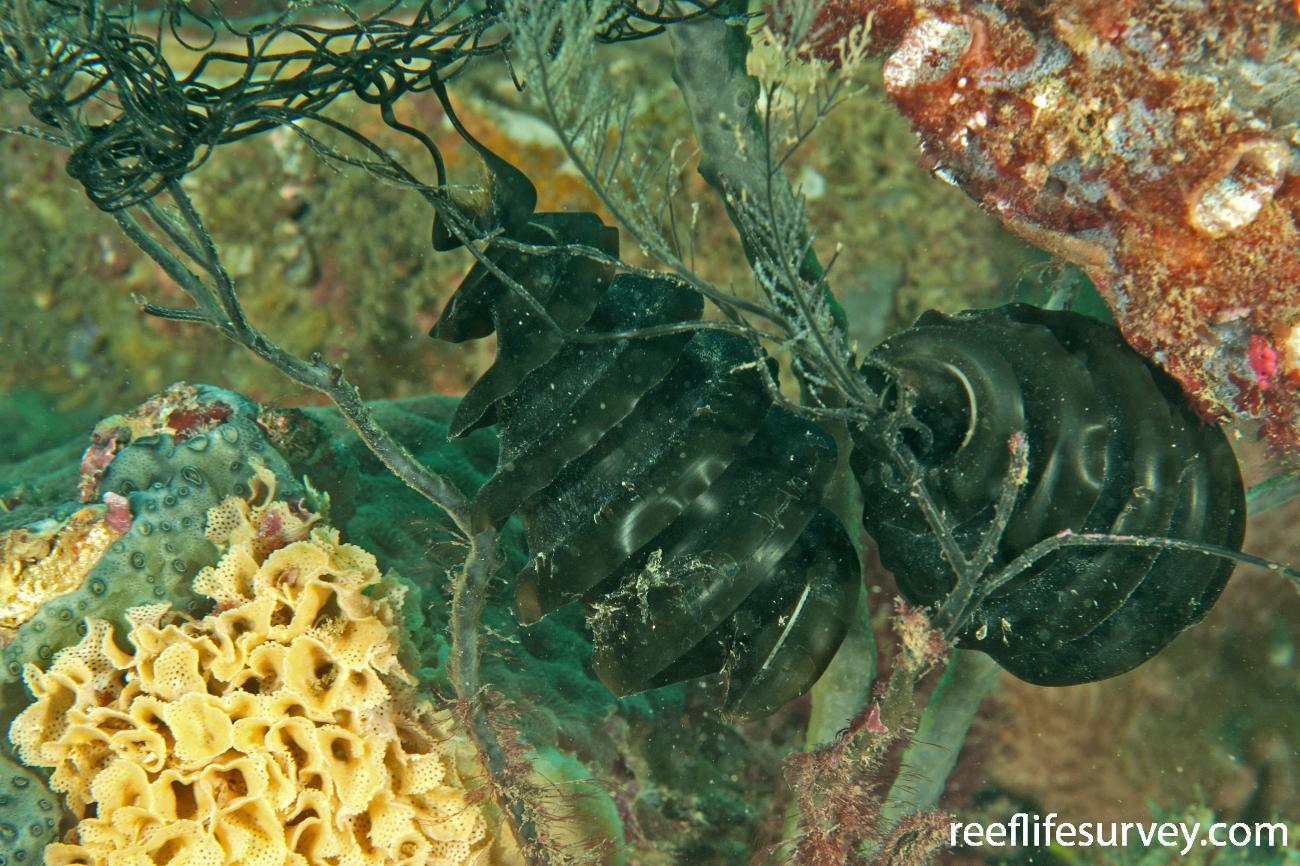 Heterodontus galeatus, Egg cases. Coffs Harbour, NSW,  Photo: Ian Shaw