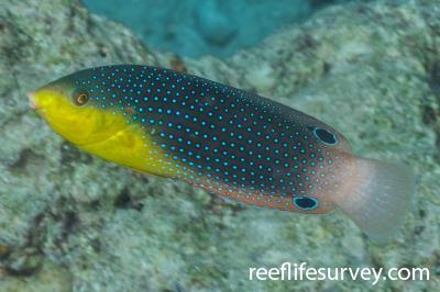 Anampses twistii: Adult, Red Sea,  Photo: Rick Stuart-Smith