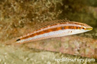 Suezichthys devisi: Juvenile, NSW, Australia,  Photo: Ian Shaw