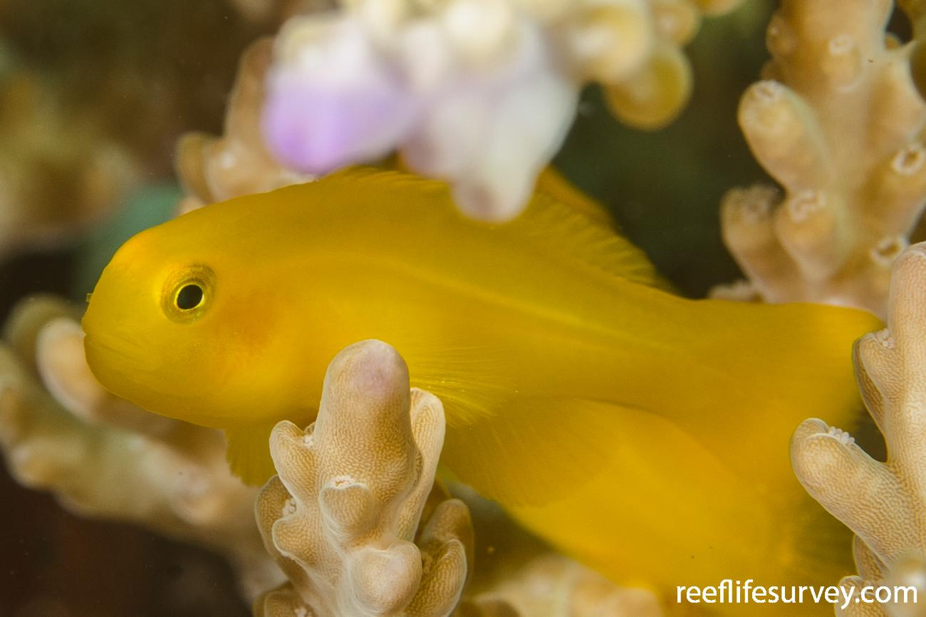 Gobiodon okinawae, Sulawesi, Indonesia.  Photo: Ian Shaw