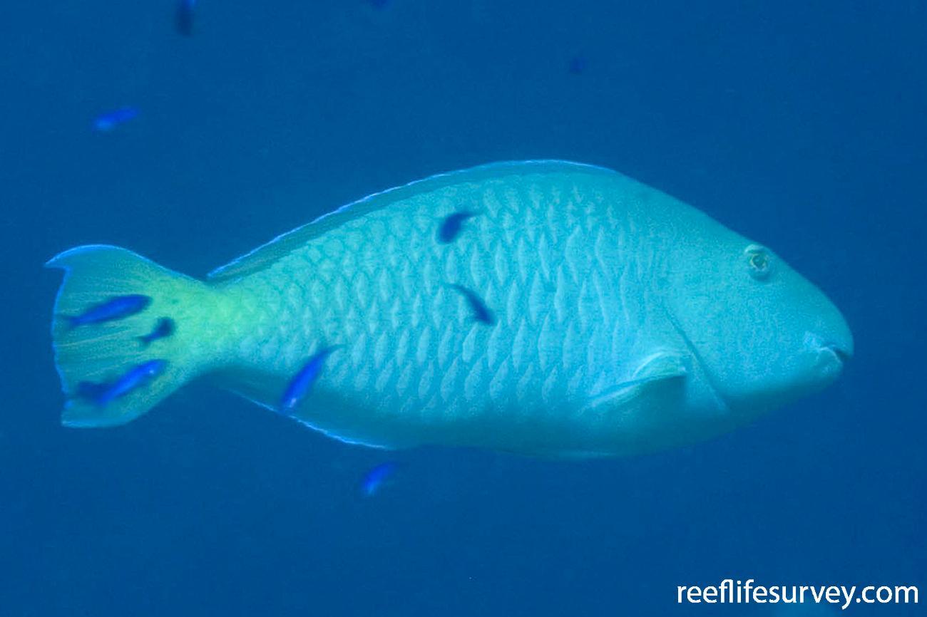 Hipposcarus longiceps, Coral Sea, QLD,  Photo: Andrew Green