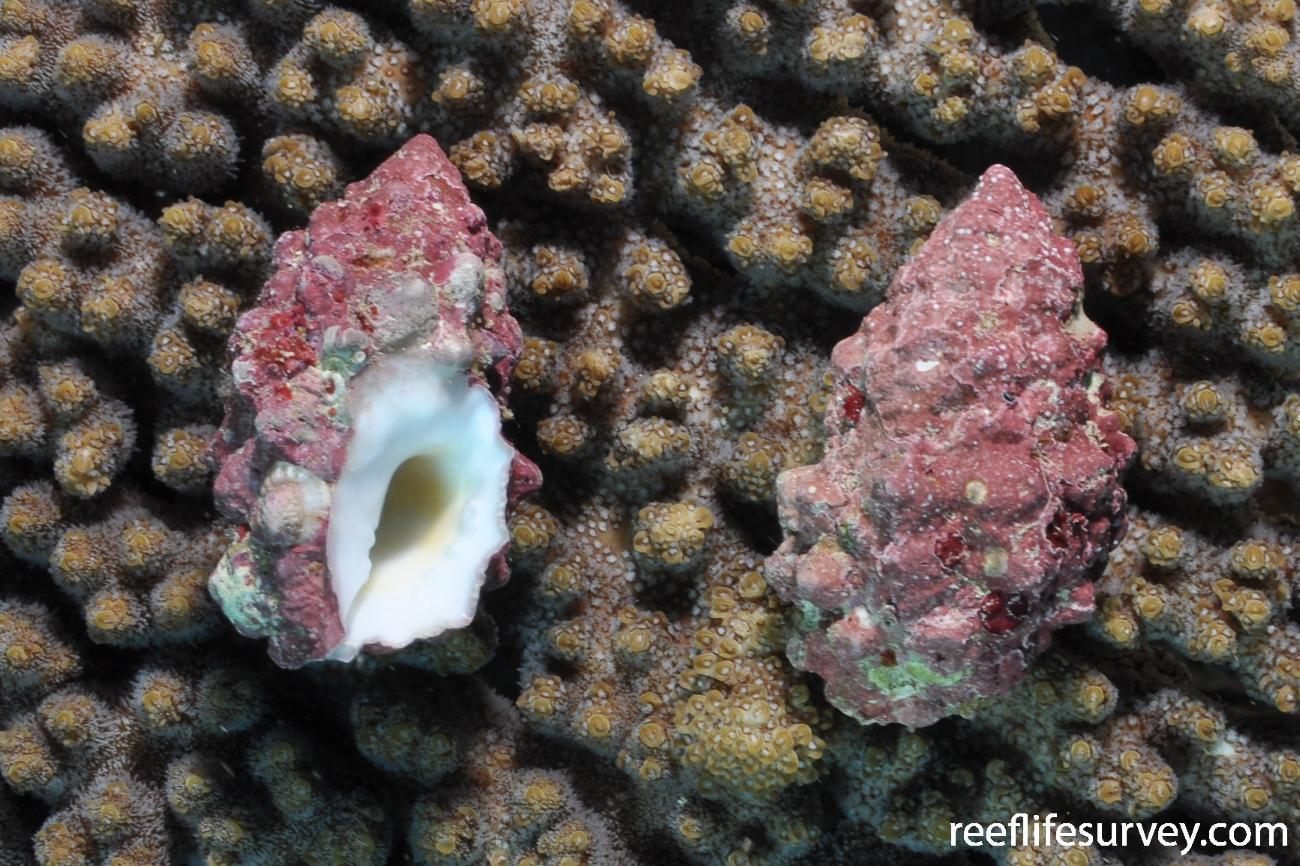 Drupella cornus, Adult.  Photo: Rick Stuart-Smith