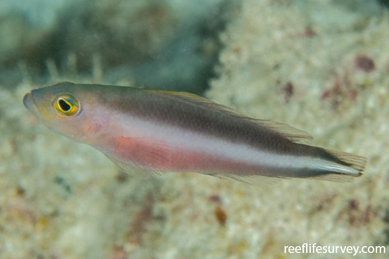 Pseudochromis bitaeniatus, Scott Reef, Western Australia,  Photo: Rick Stuart-Smith