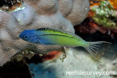 Meiacanthus nigrolineatus: Adult, Red Sea,  Photo: Rick Stuart-Smith