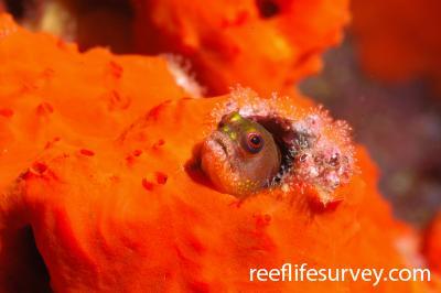 Acanthemblemaria castroi: Galapagos, Ecuador,  Photo: Graham Edgar