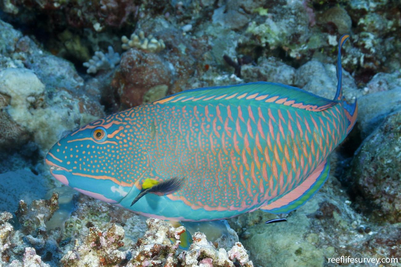 Cetoscarus ocellatus, Male, Coral Sea, Australia,  Photo: Ian Shaw