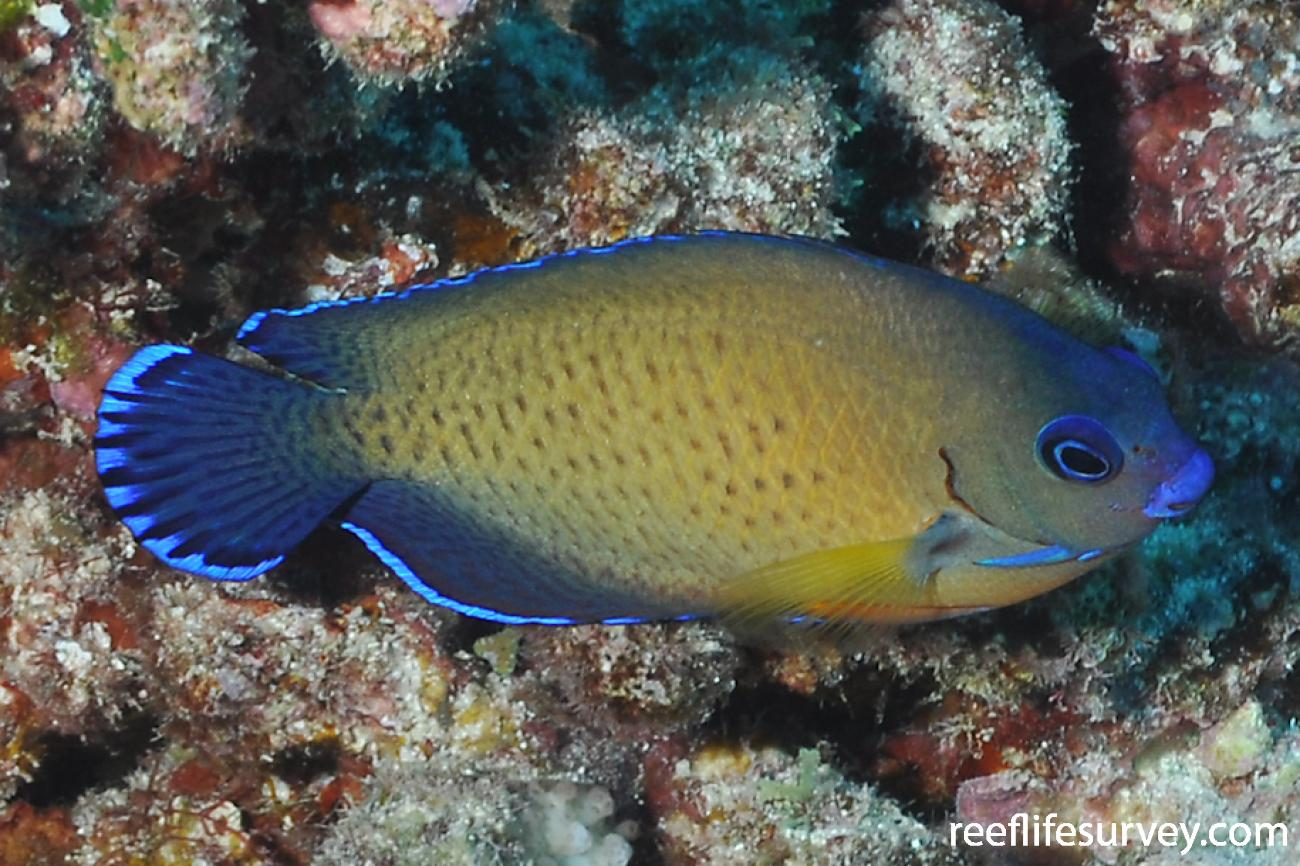 Centropyge bispinosa, French Polynesia,  Photo: Rick Stuart-Smith