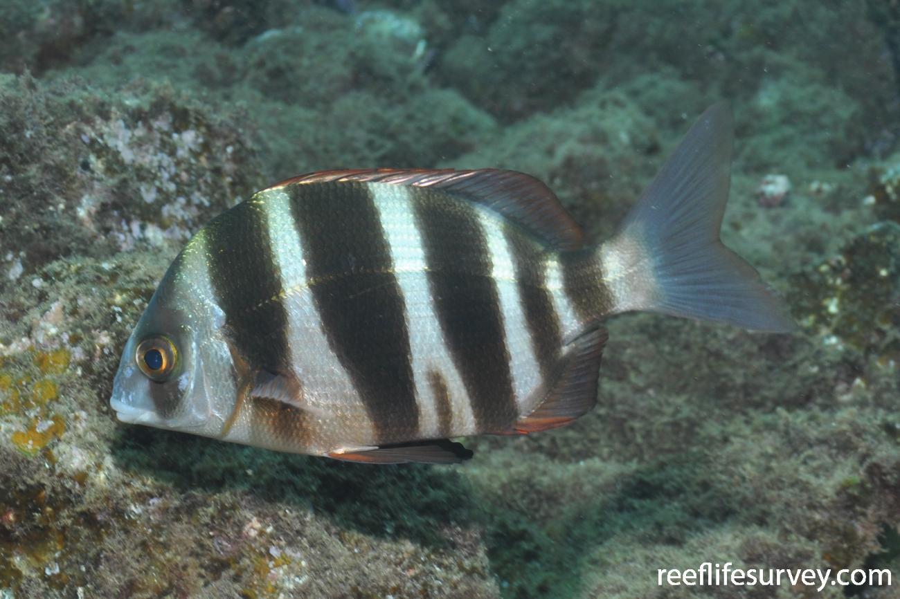 Diplodus cervinus, Canary Islands,  Photo: Rick Stuart-Smith
