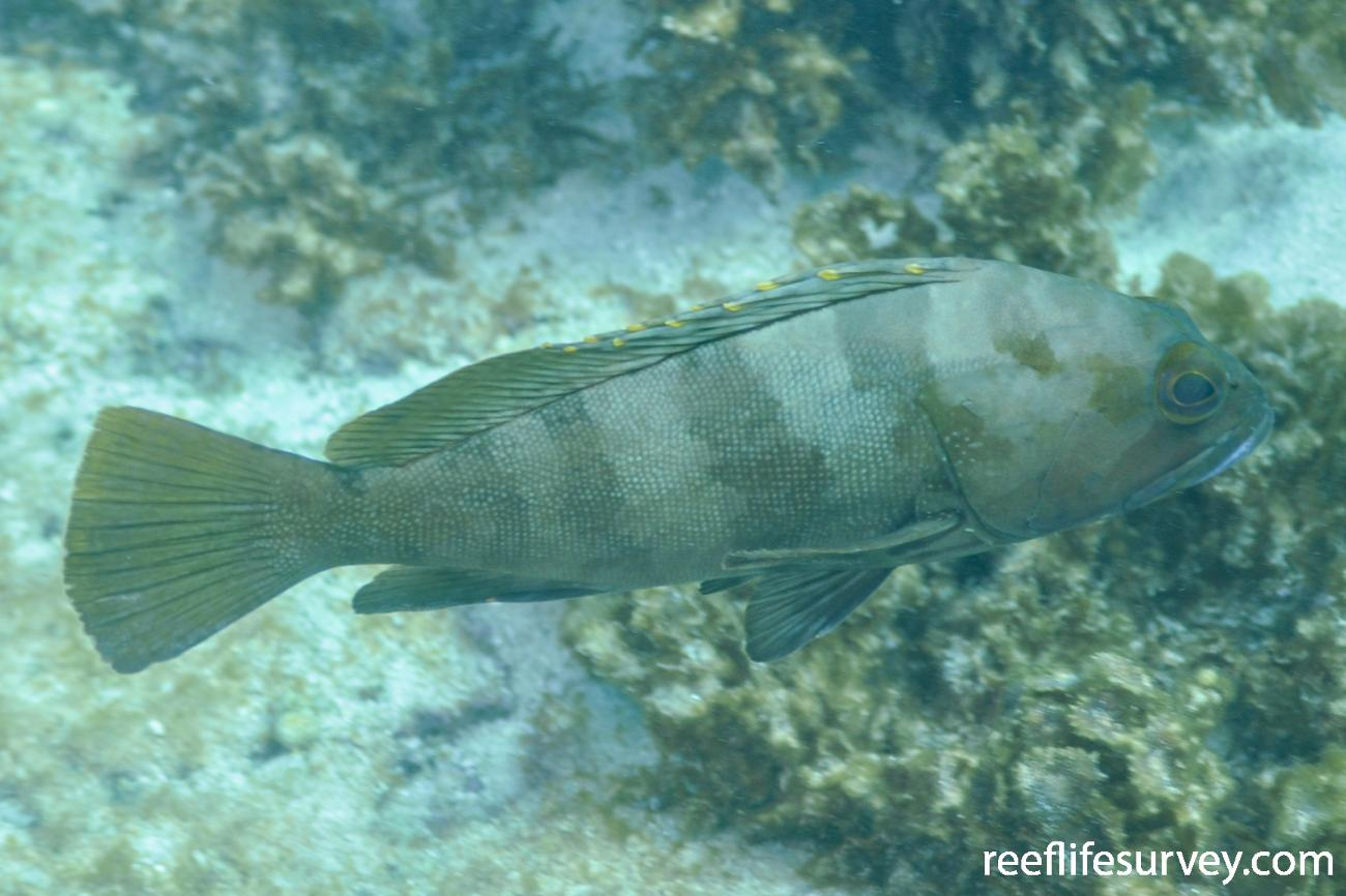 Epinephelus rivulatus,  Photo: Rick Stuart-Smith