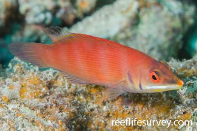 Pseudocheilinus evanidus: Naigani Is, Fiji,  Photo: Andrew Green