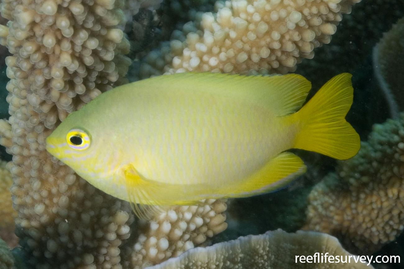 Pomacentrus moluccensis, Torres Strait, QLD,  Photo: Andrew Green