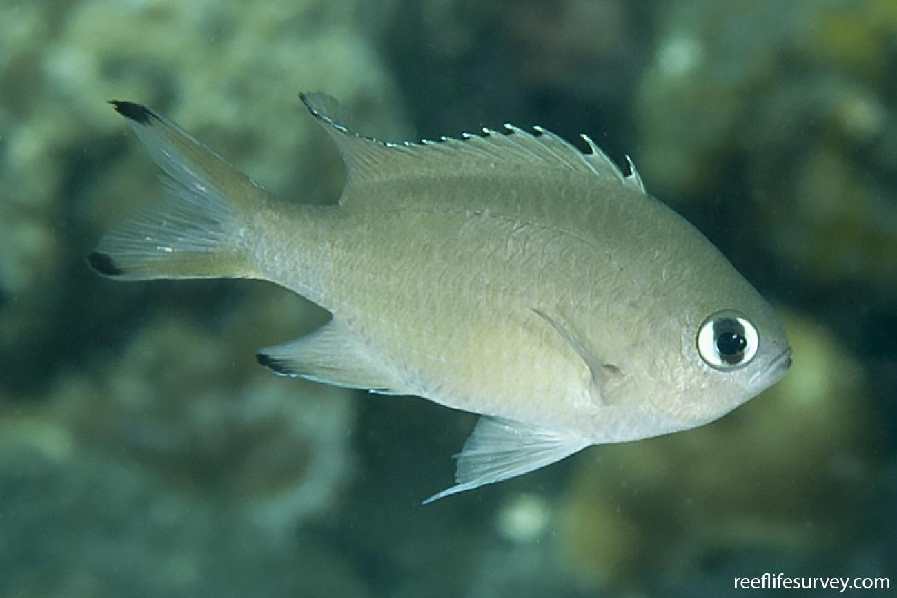 Chromis lepidolepis, Adult, Bali, Indonesia,  Photo: Ian Shaw