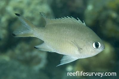 Chromis lepidolepis: Adult, Bali, Indonesia,  Photo: Ian Shaw