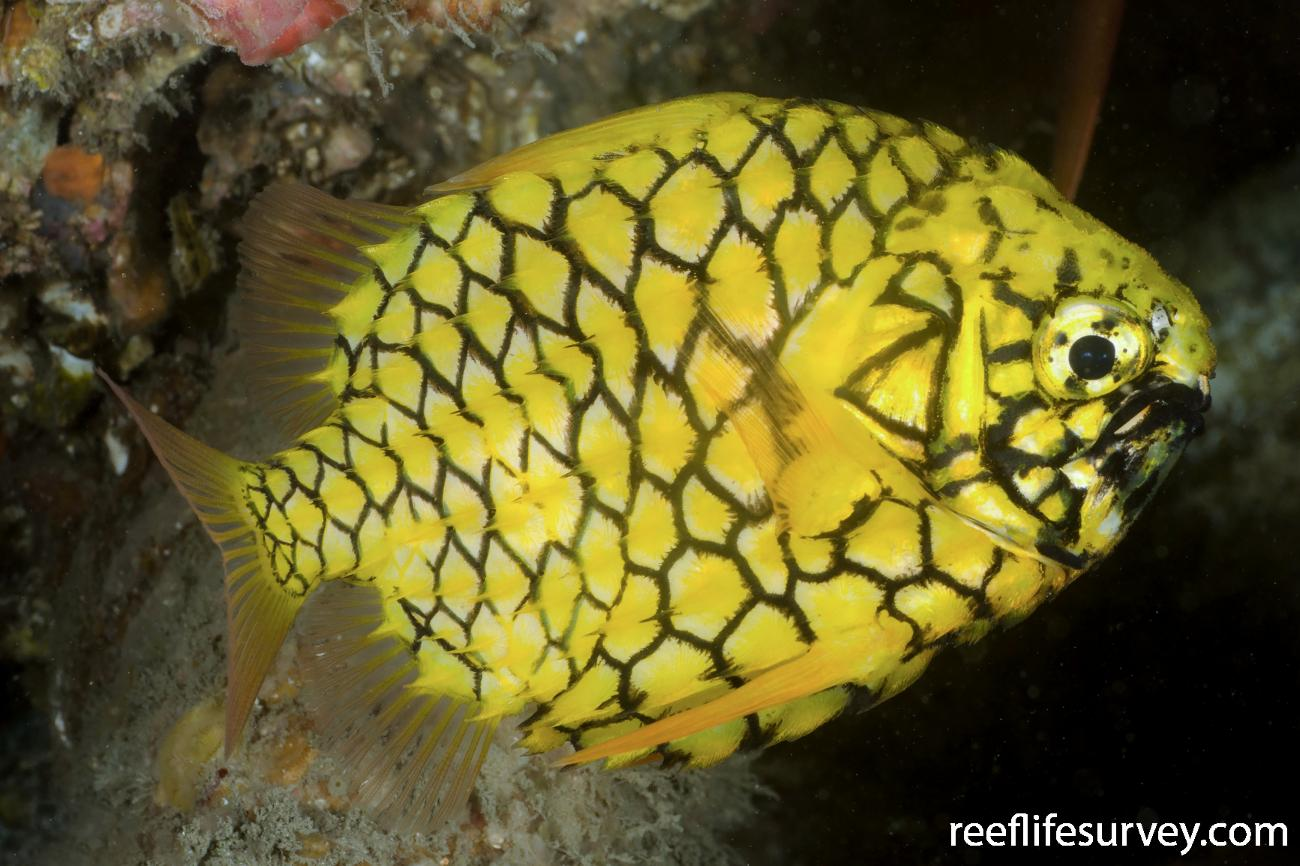 Cleidopus gloriamaris, NSW, Australia,  Photo: Ian Shaw