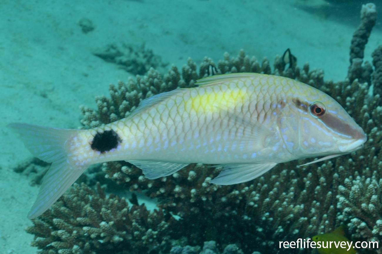 Parupeneus indicus, WA, Australia,  Photo: Rick Stuart-Smith