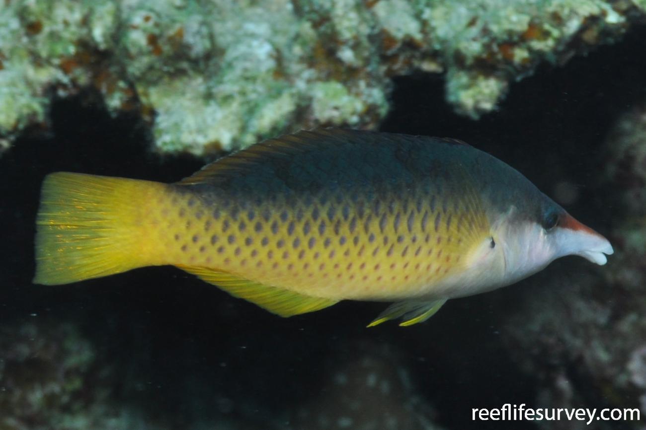 Gomphosus caeruleus, Female, Red Sea,  Photo: Rick Stuart-Smith
