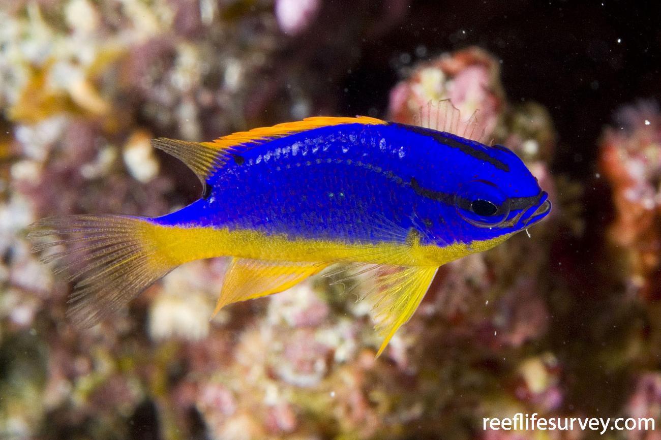 Chrysiptera taupou, Naigani Is, Fiji,  Photo: Andrew Green