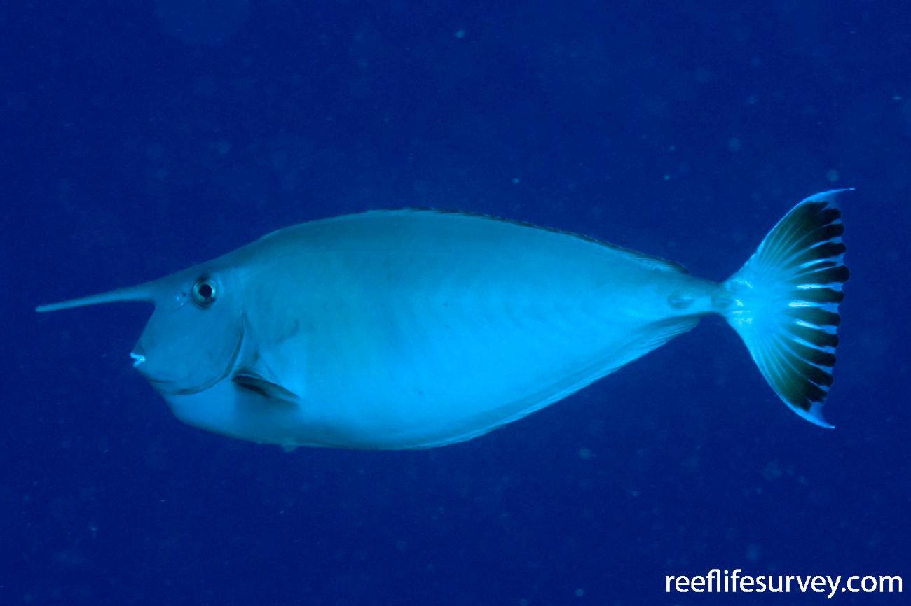 Naso annulatus, Coral Sea, QLD,  Photo: Andrew Green