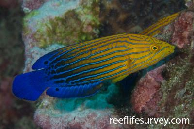 Anampses femininus: Female, Lord Howe Is, NSW,  Photo: Rick Stuart-Smith