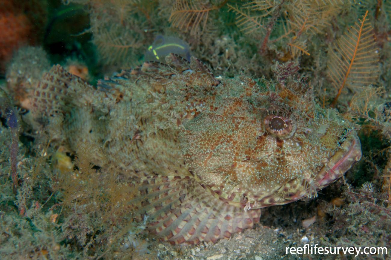 Scorpaena jacksoniensis, Port Stephens, NSW,  Photo: Rick Stuart-Smith