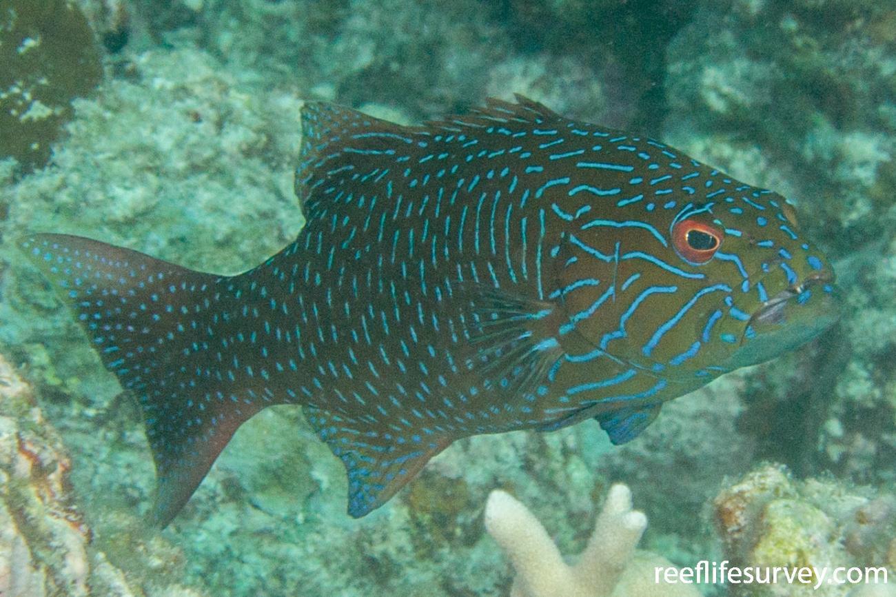 Plectropomus oligacanthus, Scott Reef, Western Australia,  Photo: Rick Stuart-Smith