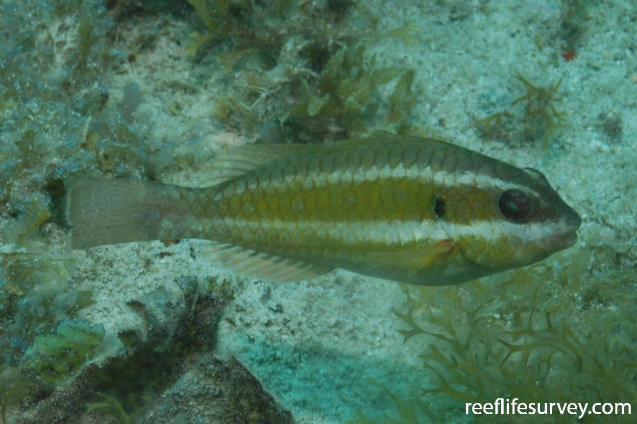 Sparisoma axillare, Juvenile, Abrolhos Islands, Brazil,  Photo: Graham Edgar