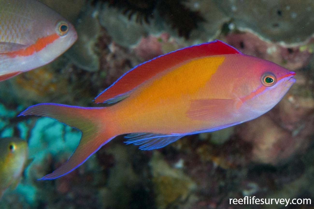 Pseudanthias dispar, Male, Raja Ampat, Indonesia,  Photo: Rick Stuart-Smith