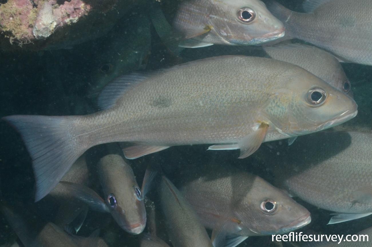 Lutjanus russellii, Adult, Barrow Island, WA, Australia,  Photo: Graham Edgar
