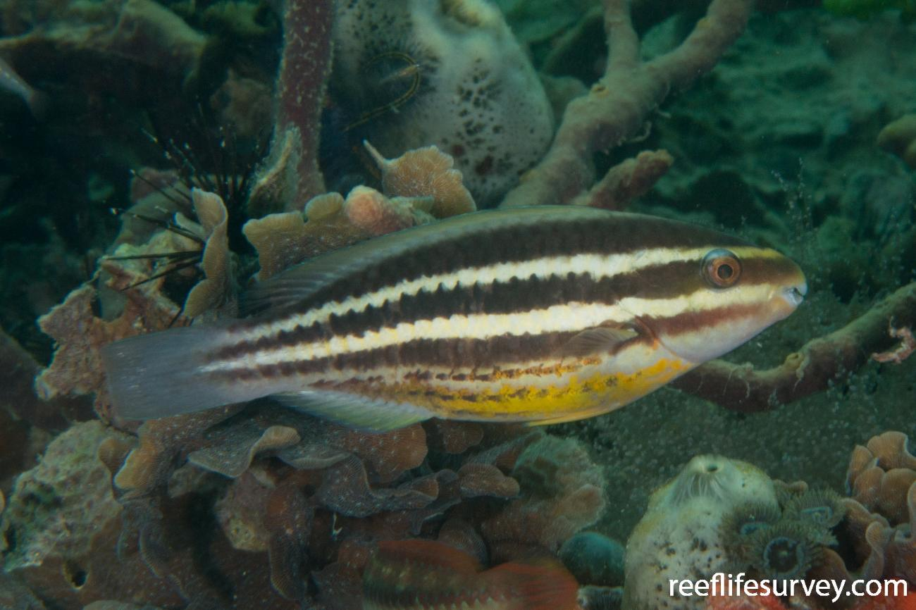 Scarus iseri, Panama,  Photo: Rick Stuart-Smith
